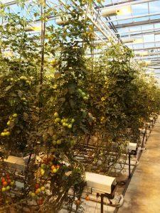 tomato farm greenhouse iceland
